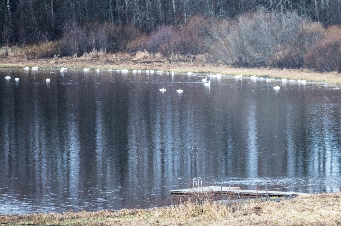 Näkymä maantieltä 259 pari viikkoa sitten, kun joutsenet viettivät iltapäivää Mätiköllä.