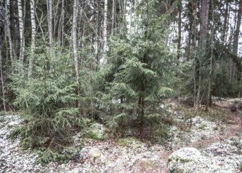 Kasvatettuihin kuusiin tottuneiden on hyvä huomata, että metsäkuusen muodot ovat yleensä luonnon muokkaamia. Tasaisimmat kuuset kadonnevat varsin nopeasti.