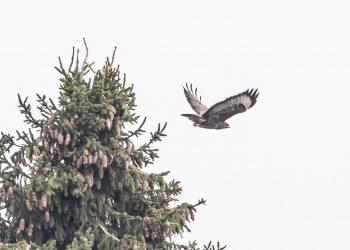 Jämsässä jalastaan kiinni jäänyt haukka oli huomattavasti Sastamalassa kuvattua lintua pienempi.