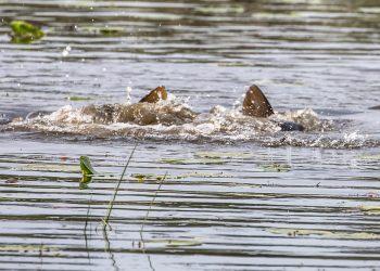 Ei. Se ei ollut vesihirviö. Kalojen kutuaika oli meneillään.