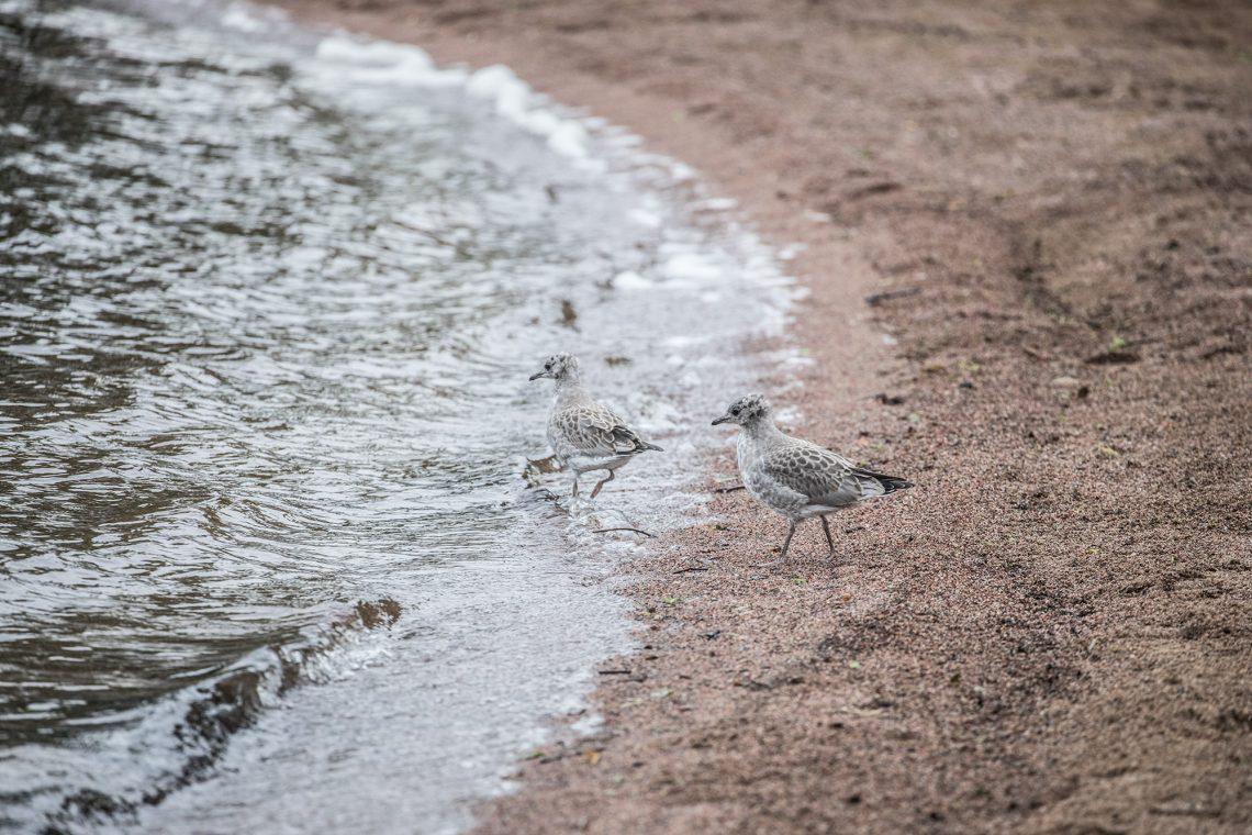 Pororannan uimaranta siivotaan joka aamu. Juuri siivotulla rannalla kelpaa lokkien poikasten tepastella.