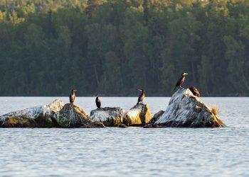 Merimetsoja Rautavedellä Ekosaaren luona. (Kuva Jari Heinonen)