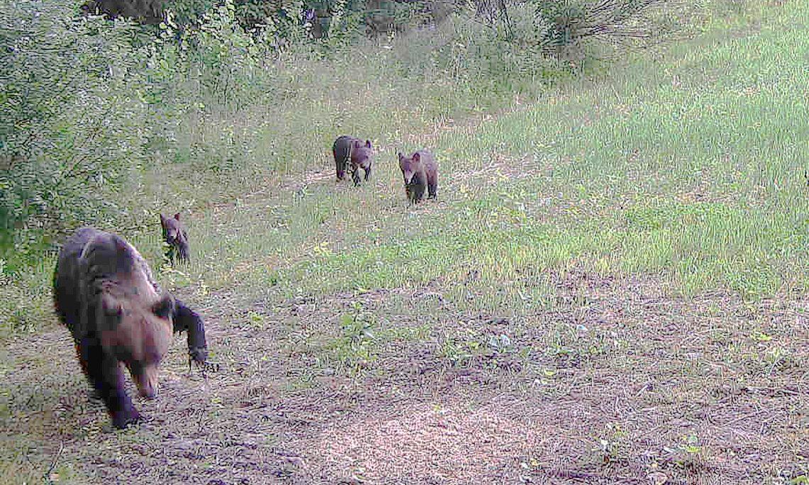 Joensuun Enossa raudan tassuunsa saanut karhu yritetään loukuttaa ja rauta poistaa.